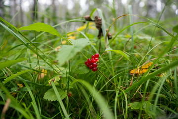 Костяника: как вырастить на приусадебном участке