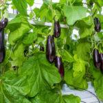 Как вырастить баклажаны из семян?