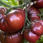 Сорт томатов «Черный принц»
