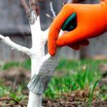 Покраска плодовых деревьев осенью обязательна