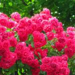 Розы Флорибунда — изящная красота и разнообразие оттенков