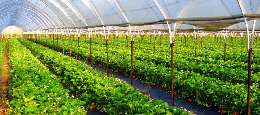 О тепличном овощеводстве