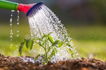 Как правильно вырастить рассаду томатов в домашних условиях