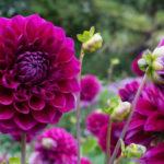 Георгины: выращивание и уход, когда выкапывать