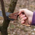 Осенняя обрезка сада: санитарная, формировочная, прореживающая, омолаживающая