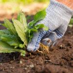 9 сорняков с полезными качествами на вашем огороде