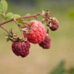 Вредители, болезни малины и способы борьбы с ними