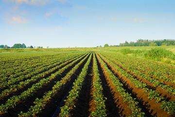 Голландский вариант выращивания картофеля