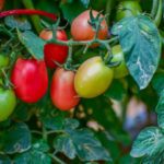 Томат сорта «Сибирский гроздевой»