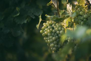 Виноград. Особенности выращивания