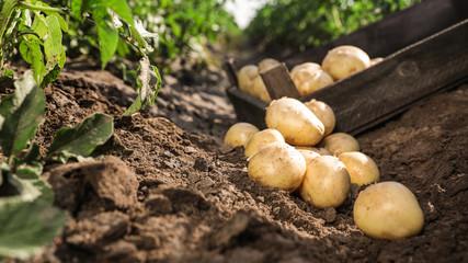 Почему грядки под картофель лучше готовить с осени
