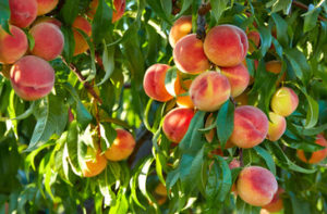 Как вырастить персики в Подмосковье
