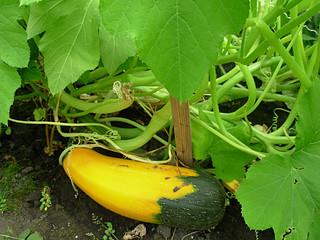 Преимущества выращивания кабачков на грядке