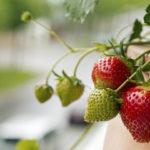 Выращивание клубники на балконе — что нужно знать?