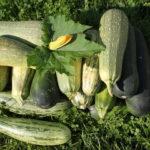 Чем подкормить кабачки во время плодоношения для повышения урожайности