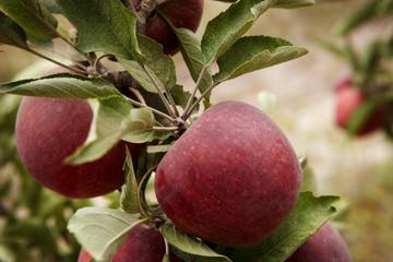Правила прививки яблони