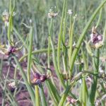 Многоярусный лук: как вырастить 3-4 «этажа» витаминов