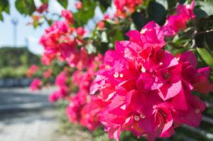 Бугенвиллея или Бумажный цветок