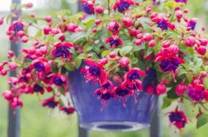 Фуксия - выращивание на балконе и в саду
