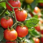 Вишня красная: кистевой томат для украшения стола