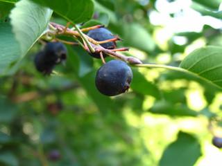 Ирга канадская: виды и сорта, посадка, уход, болезни и вредители