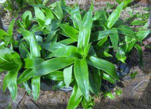 Выращивание Каллизии в домашних условиях