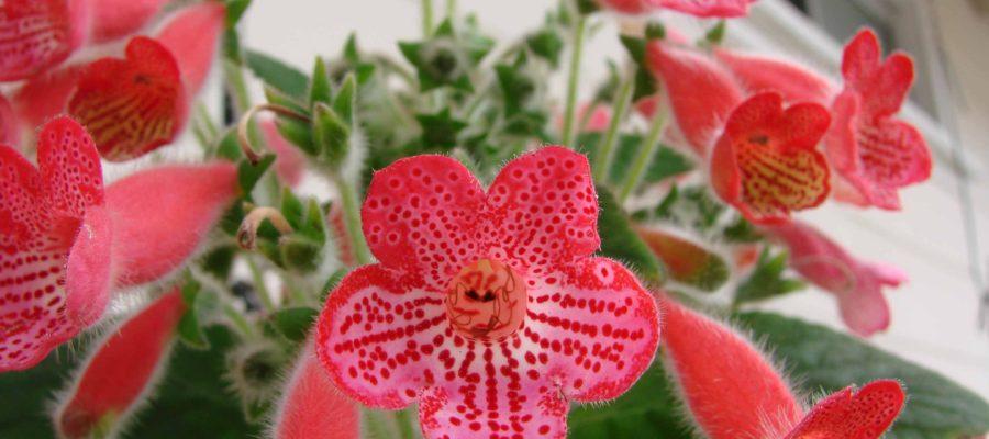 Тропическая красавица Колерия: уход и содержание в домашних условиях