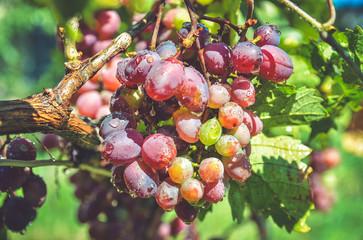 Топ-10 лучших сортов для выращивания винограда