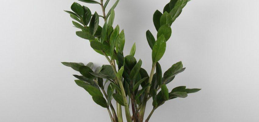 Долларовое дерево или Замиокулькас