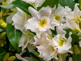 Дендробиум: уход и содержание орхидеи в домашних условиях