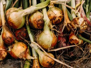Выращивание репчатого лука: двухлетняя и однолетняя культуры