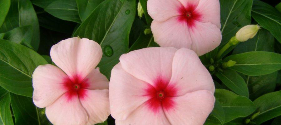 Посадка семян катарантуса на рассаду в домашних условиях: выращивание, борьба с болезнями и вредителями