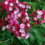 Растение Кальмия
