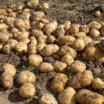 Картофель: особенности посадки, выращивания, размножения и выведения новых сортов