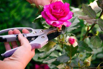 Обрезка роз весной для начинающих от «А» до «Я»