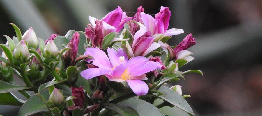 Выращивание Перескии в домашних условиях