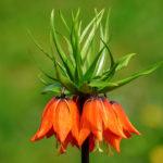 Фритиллярия или чудо-рябчик — настоящее изысканное украшение цветущего сада