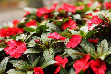 Почему не цветет бальзамин: причины и способы их устранения