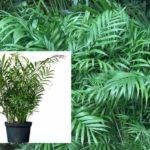 Выращивание Хамедореи (Бамбуковой пальмы) в домашних условиях