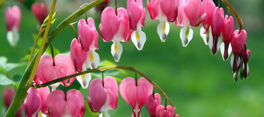 Дицентра или Разбитое сердце: интереснейший цветок для палисадника