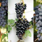 Виноград Чарли: крупноплодный сорт с почти чёрными ягодами