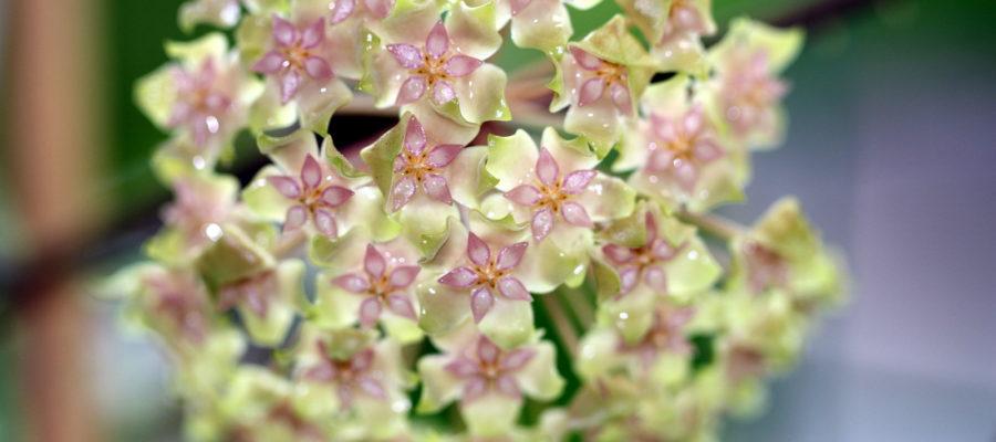 Хойя: выращивание цветущей лианы в домашних условиях
