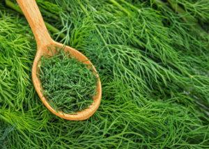 Сочный укроп на подоконнике: выращивание витаминной зелени в домашних условиях