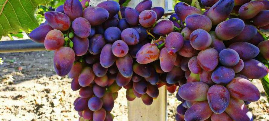 Виноград Байконур: сверхранний сорт с красивыми вкусными ягодами
