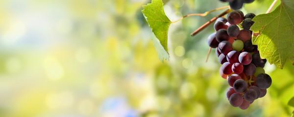 Весенняя обработка виноградника простейшими препаратами