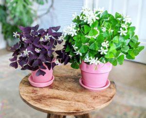 Выращивание Оксалиса (Кислицы) в домашних условиях