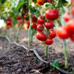 Болезни томатов и меры борьбы с ними