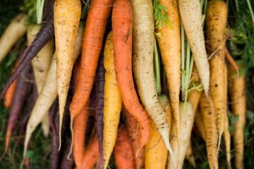 Семена моркови. Лучшие сорта для открытого грунта