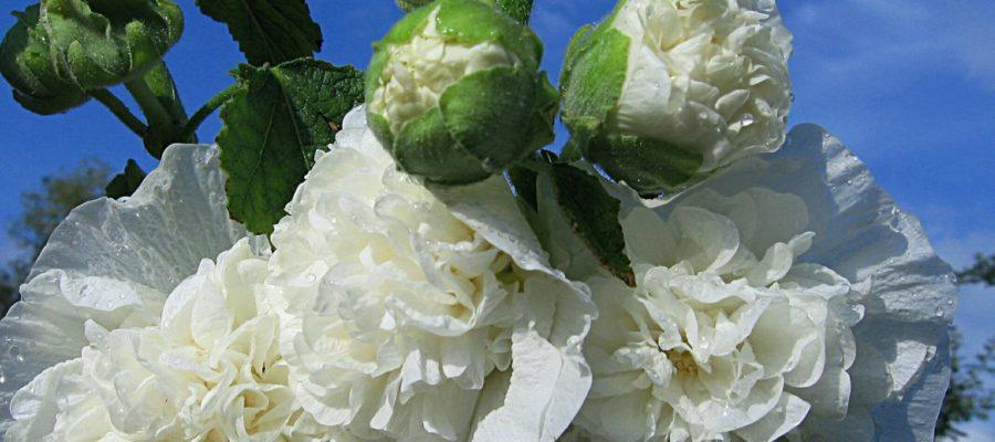Шток-роза или красавица мальва
