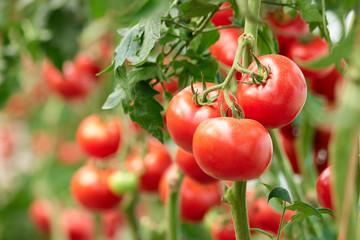 Грубые ошибки при выращивании томатов и как их исправить?